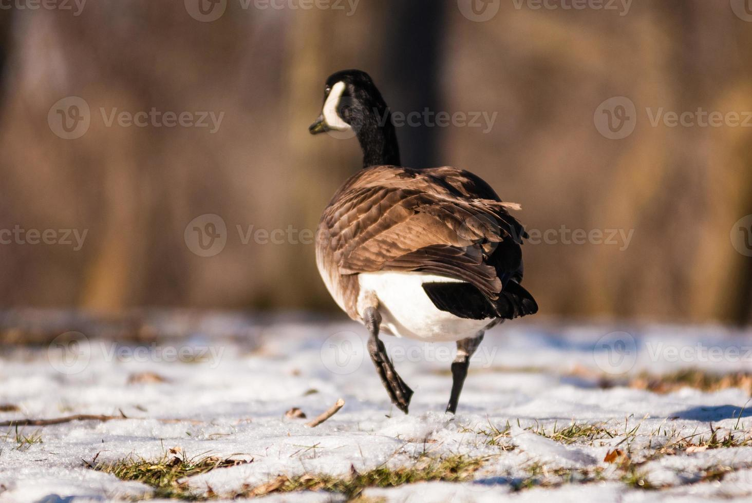 enkele Canadese gans weglopen op bevroren grond foto