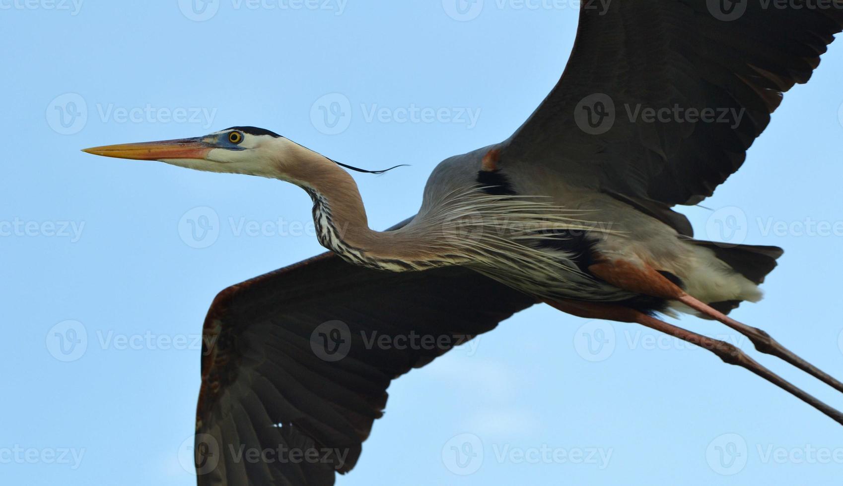grote blauwe reiger vliegen foto
