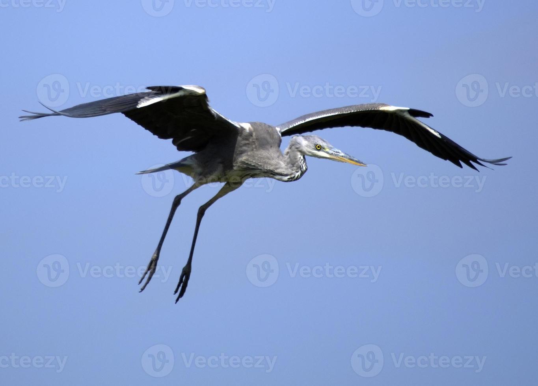 blauwe reiger (ardea cinerea) tijdens de vlucht. foto