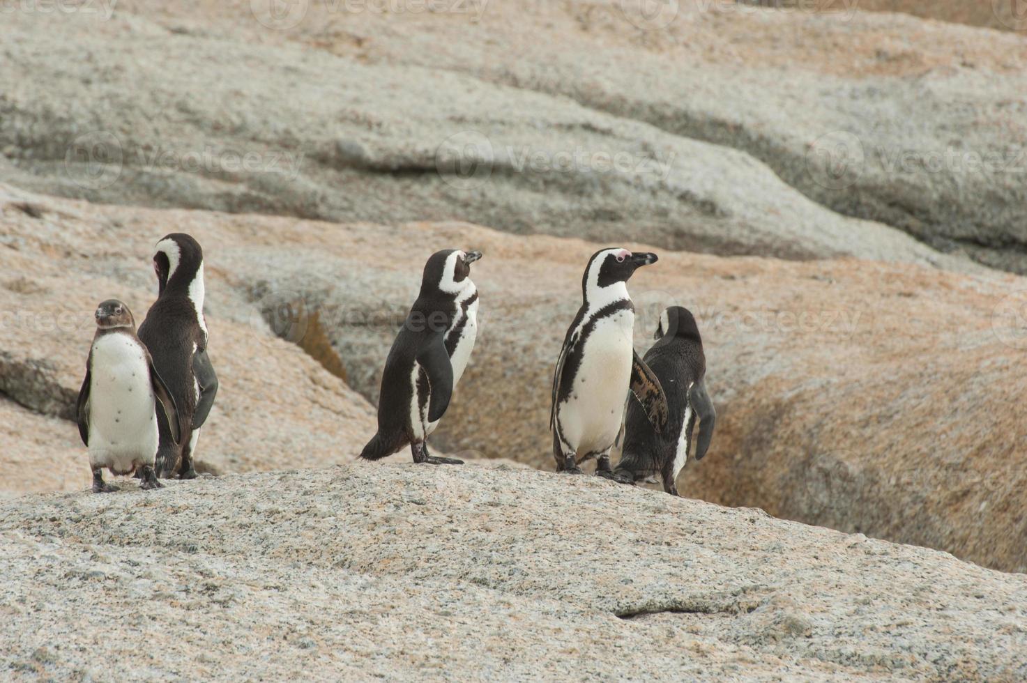 jackass pinguïns foto