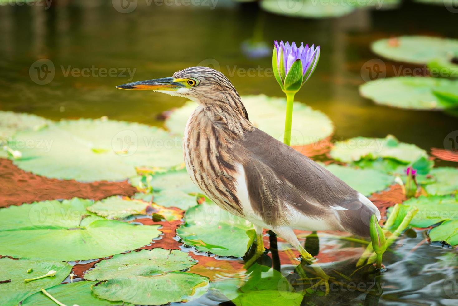 prachtige Javaanse vijverreiger vogel foto