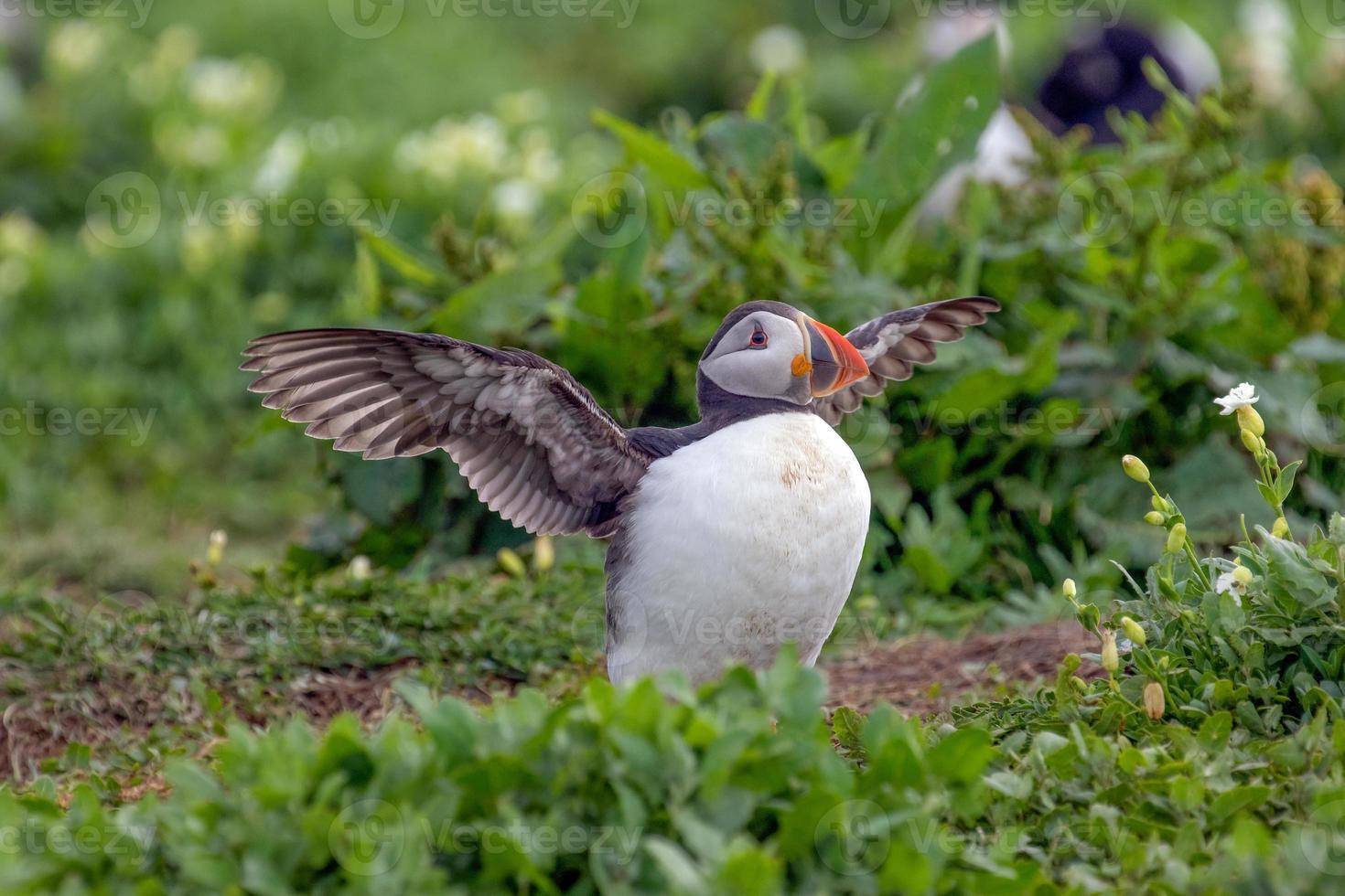 atlantische papegaaiduiker klaar om te vliegen foto