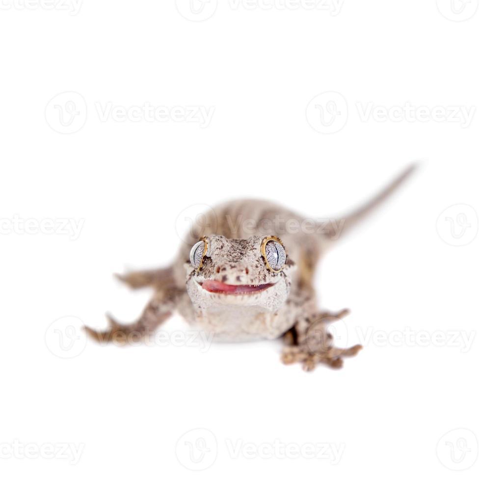 de waterspuwer, Nieuw-Caledonische hobbelige gekko op wit foto