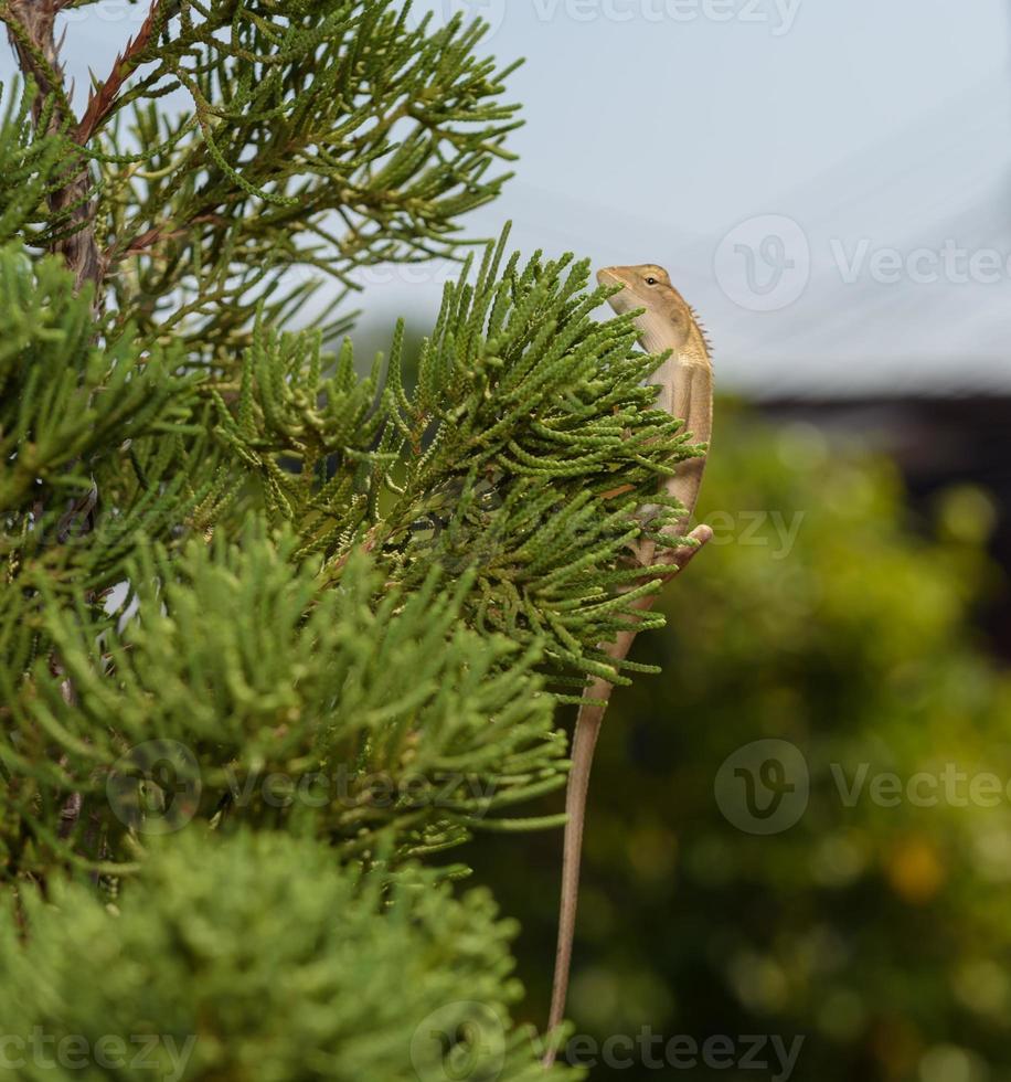 kameleon op de boom foto