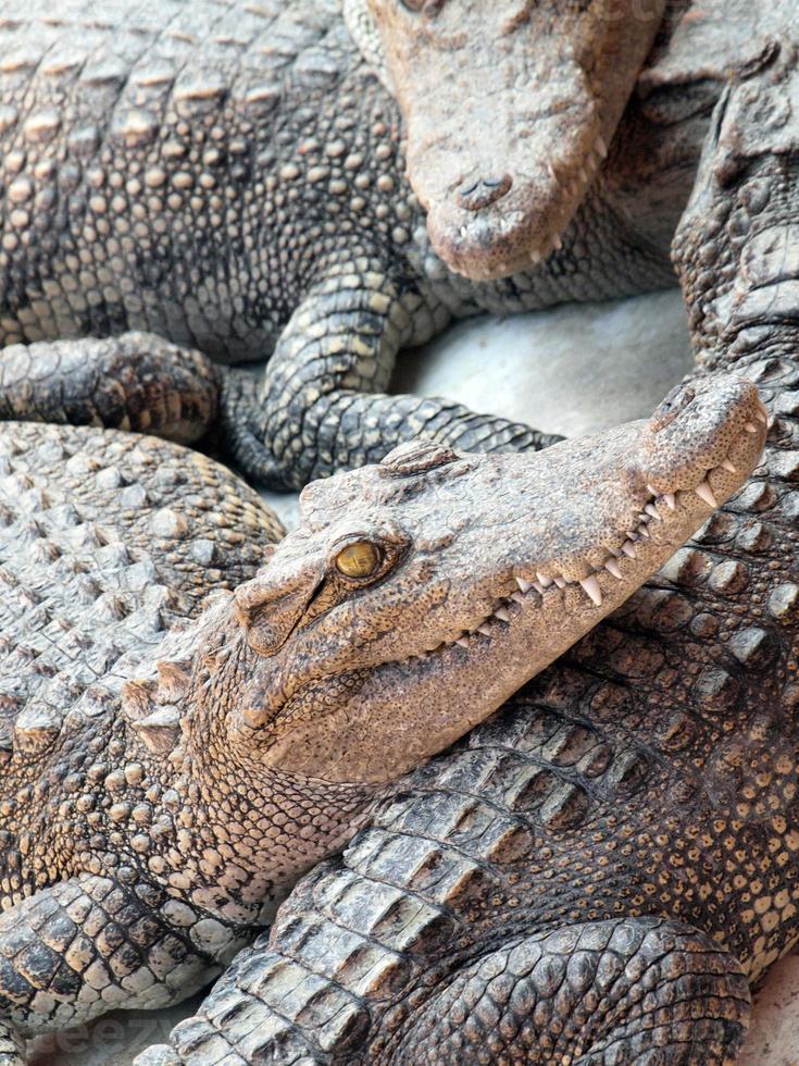 de krokodillen sluiten omhoog in Thailand foto