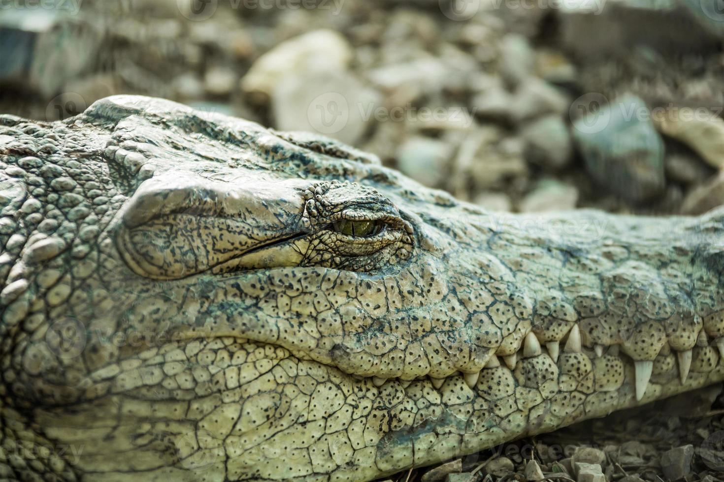 krokodil close-up oog sluit foto