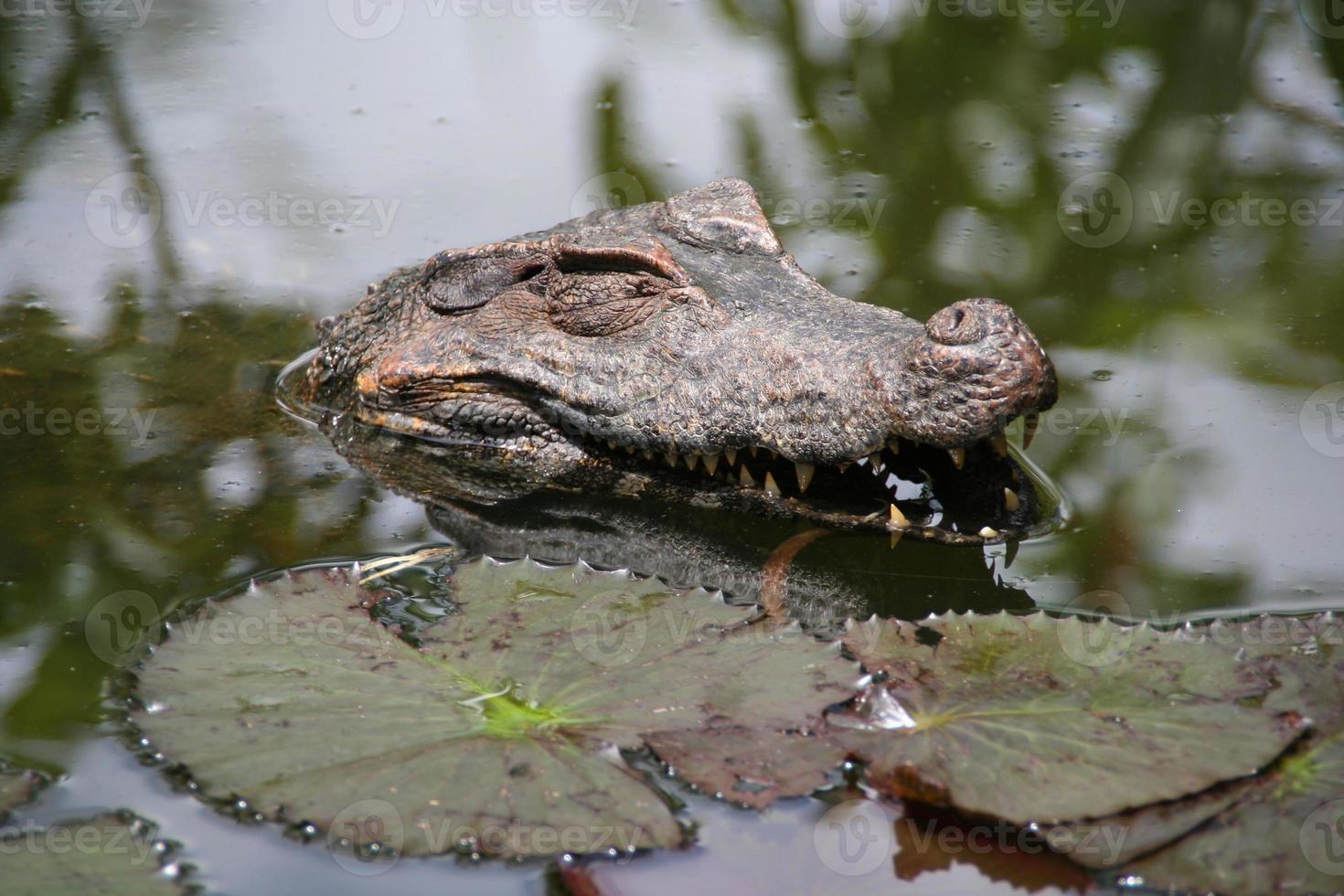 gelukkige kaaiman, Frans-Guyana foto
