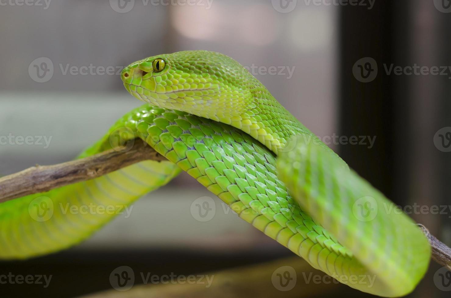 groene pitadder foto