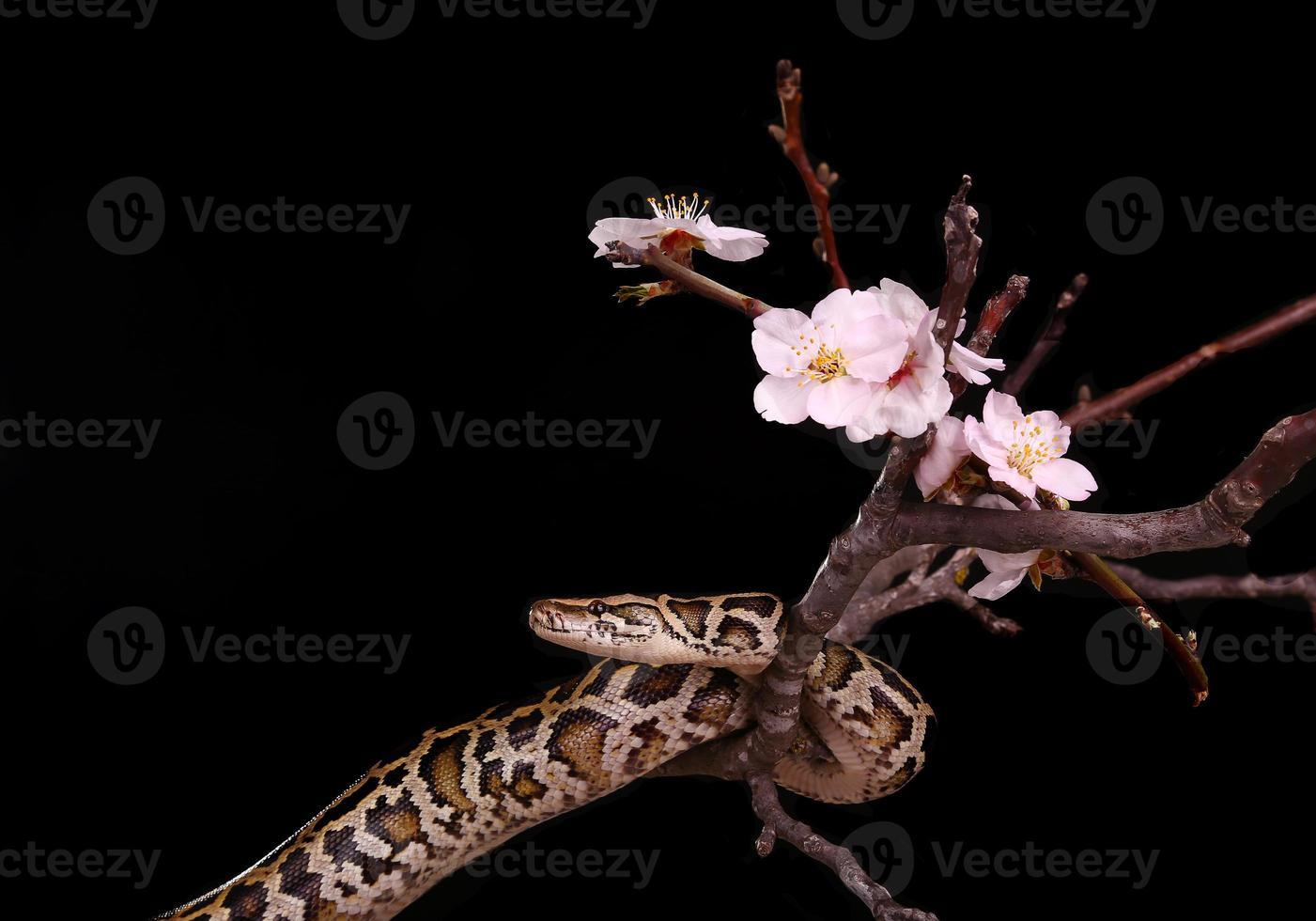 boterbal royal python moorish adder boa snake foto