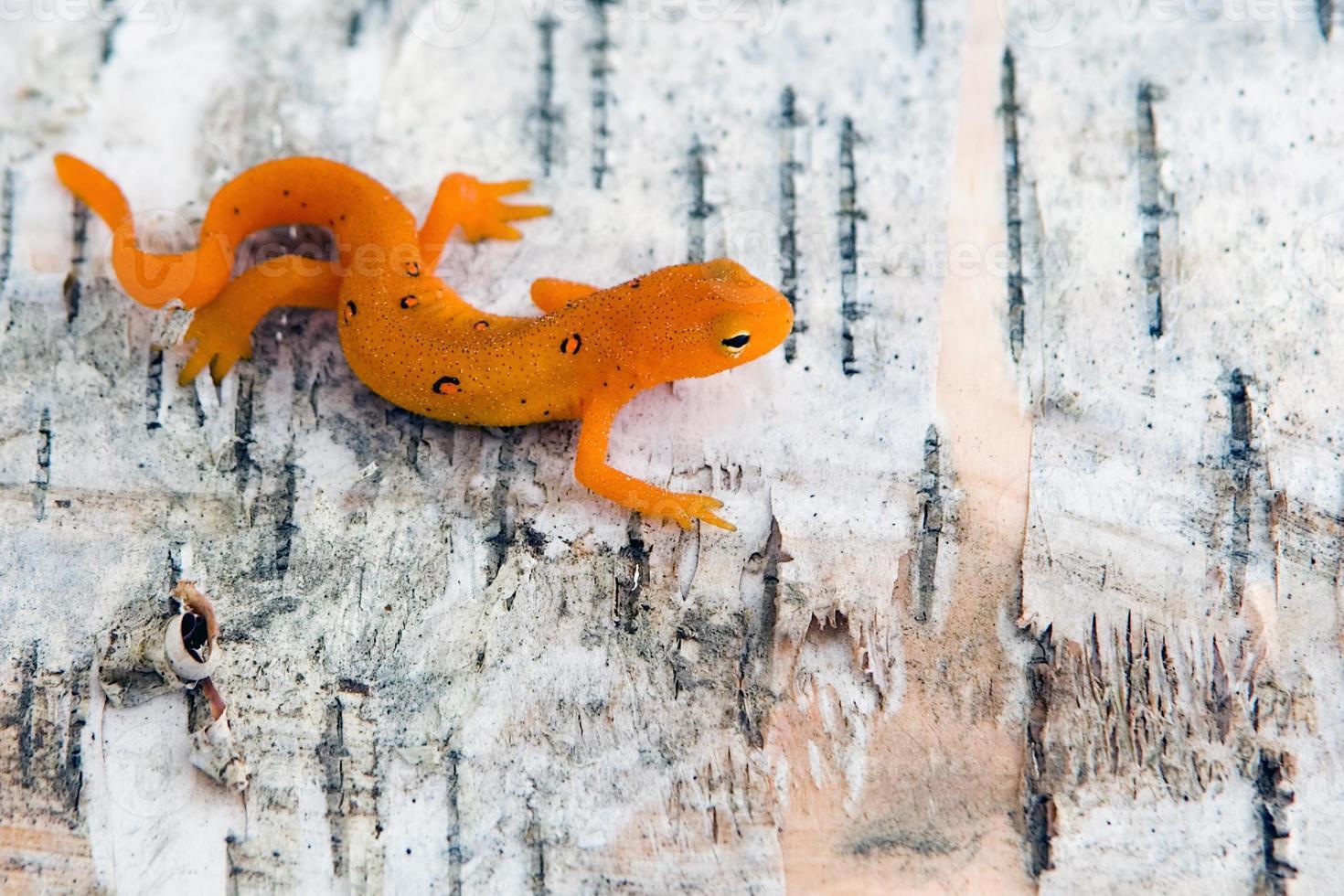 noordelijke gevlekte newt foto