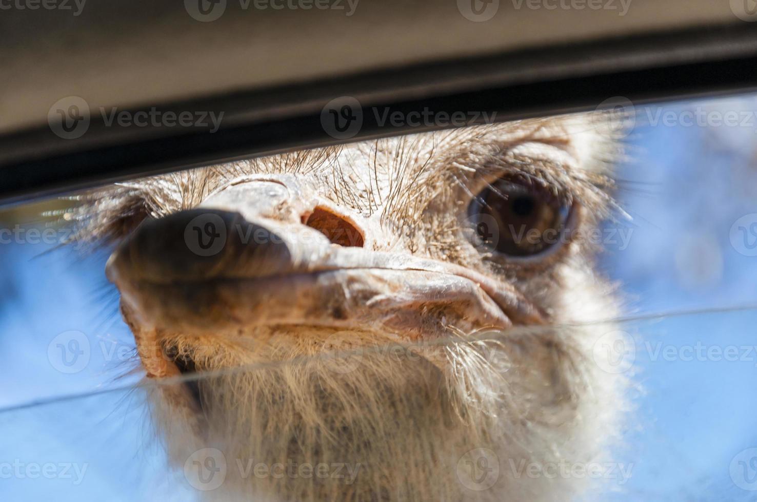 wilde struisvogel steekt zijn snavel in het raam foto