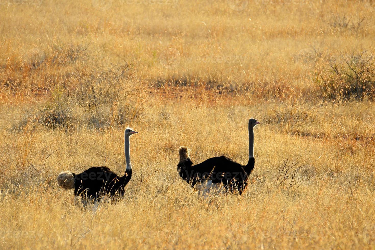 struisvogel landschap foto
