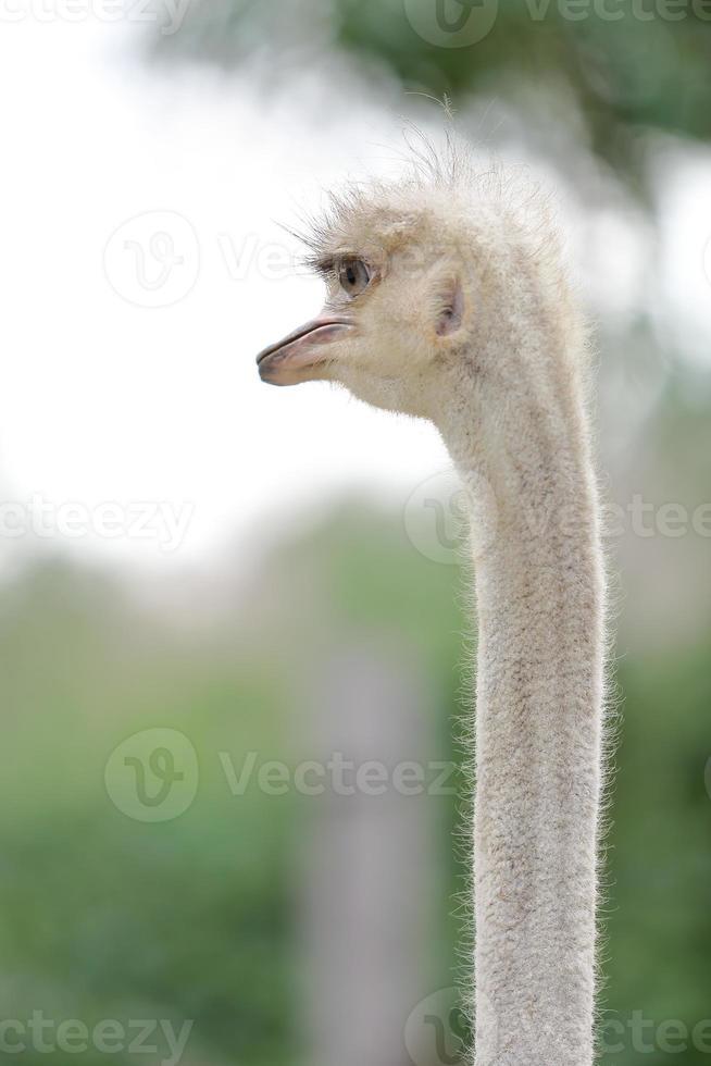 close-up struisvogel hoofd verticaal foto