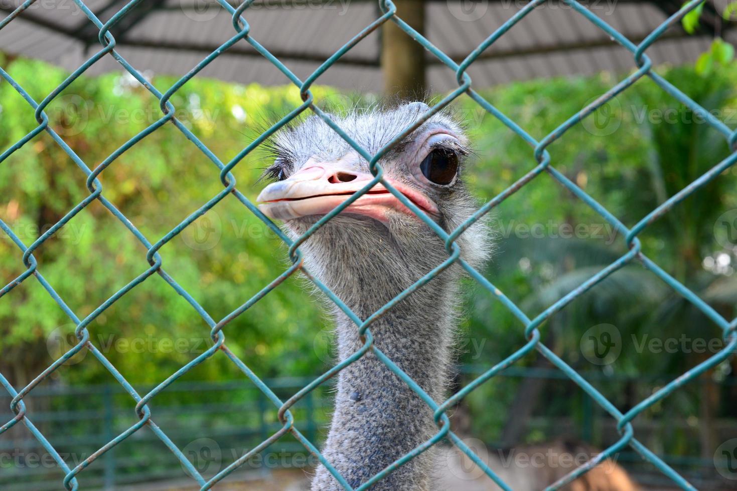 struisvogel in kooi foto