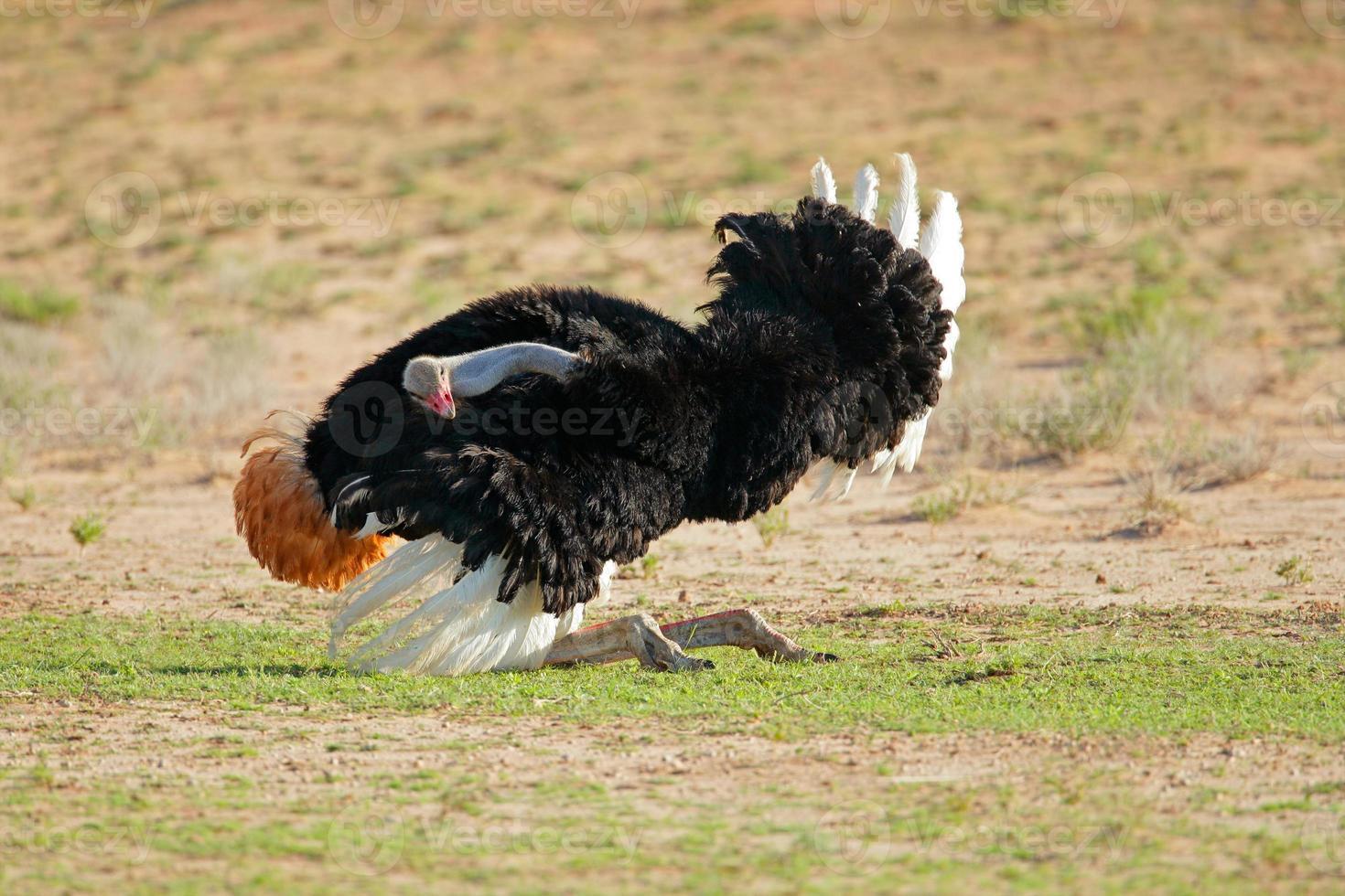 mannelijke struisvogel weergeven foto