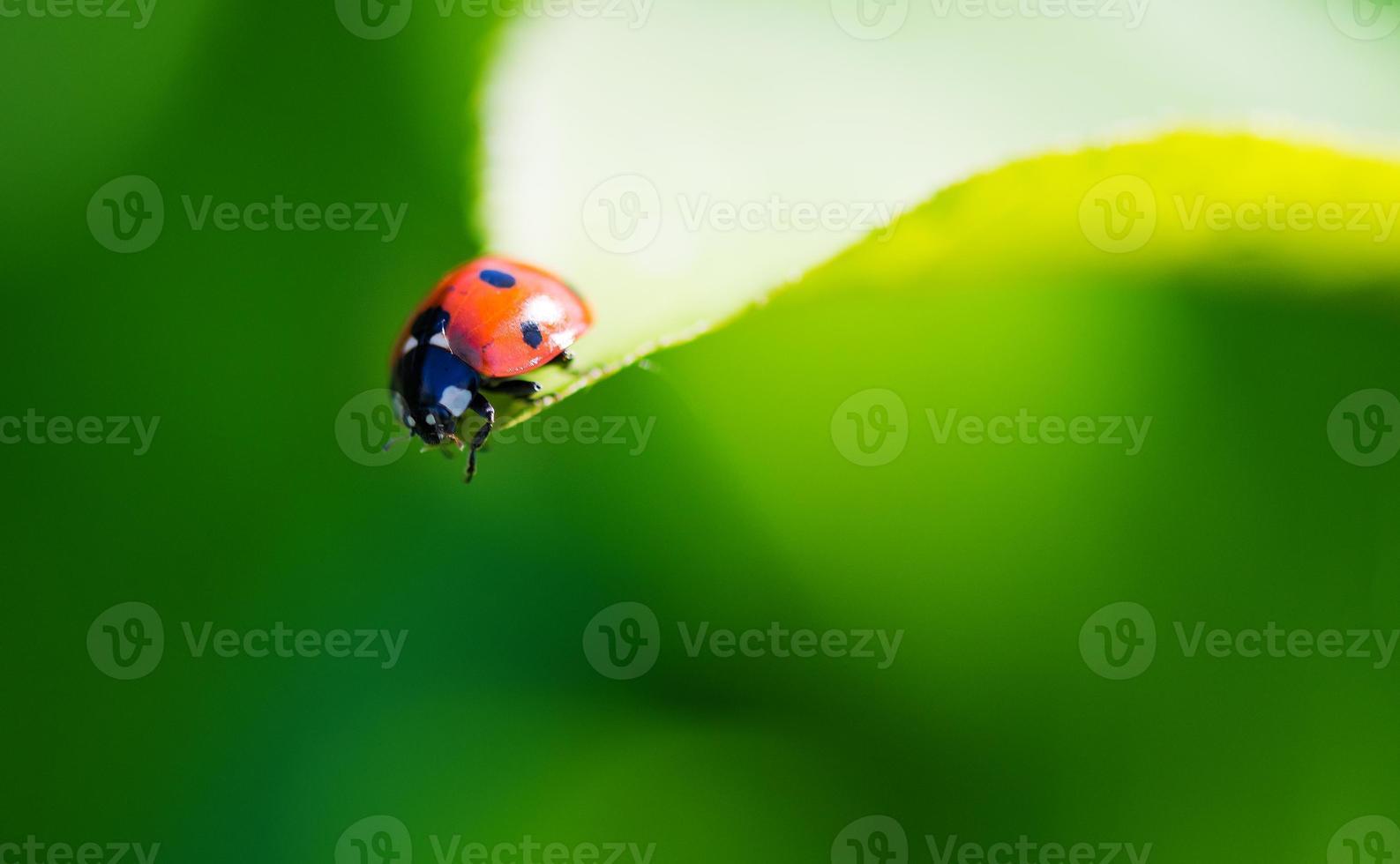 lieveheersbeestje op een blad. foto