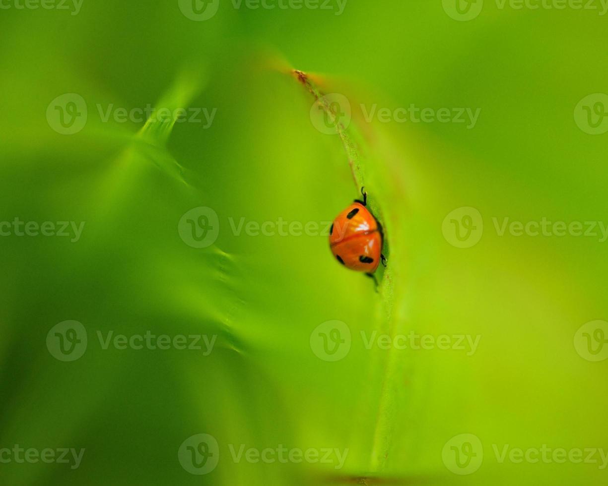 coccinelle - lieveheersbeestje foto