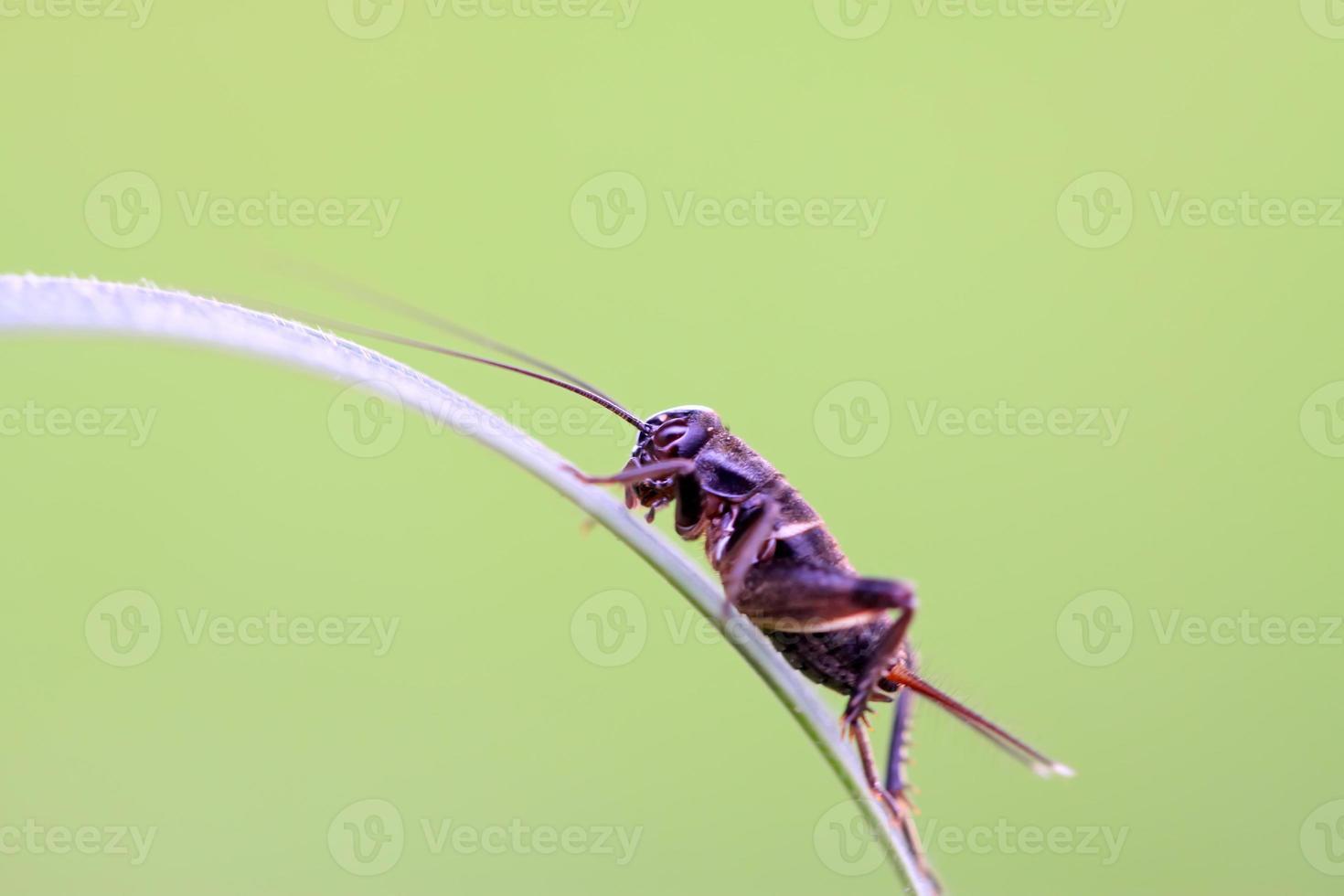 cricket nimfen foto