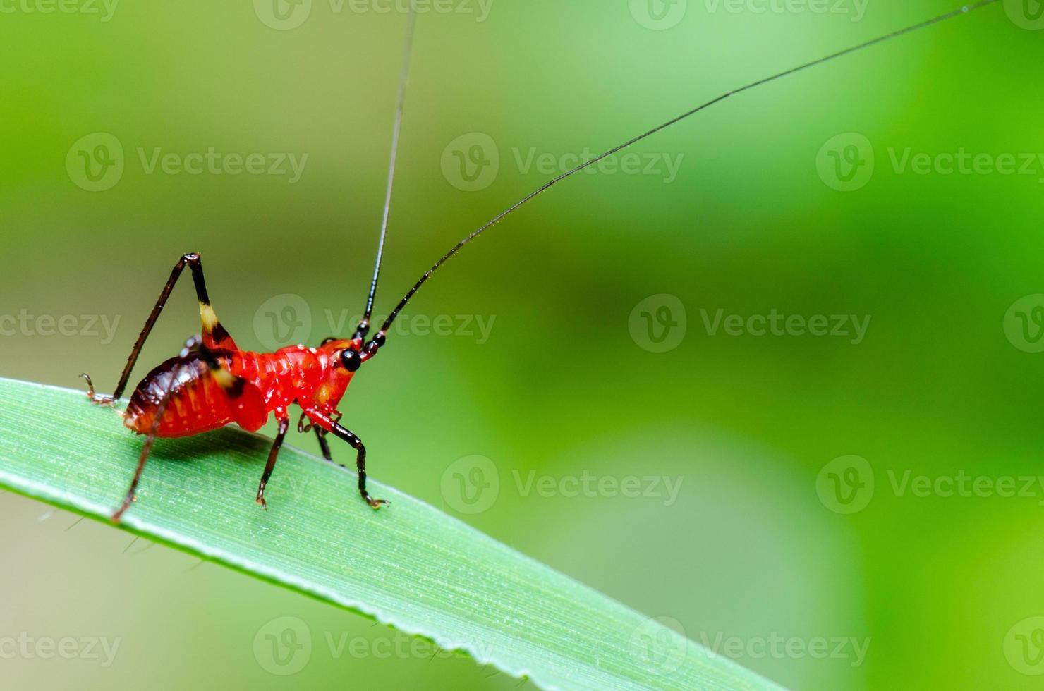 conocephalus melas kleine rode krekel foto