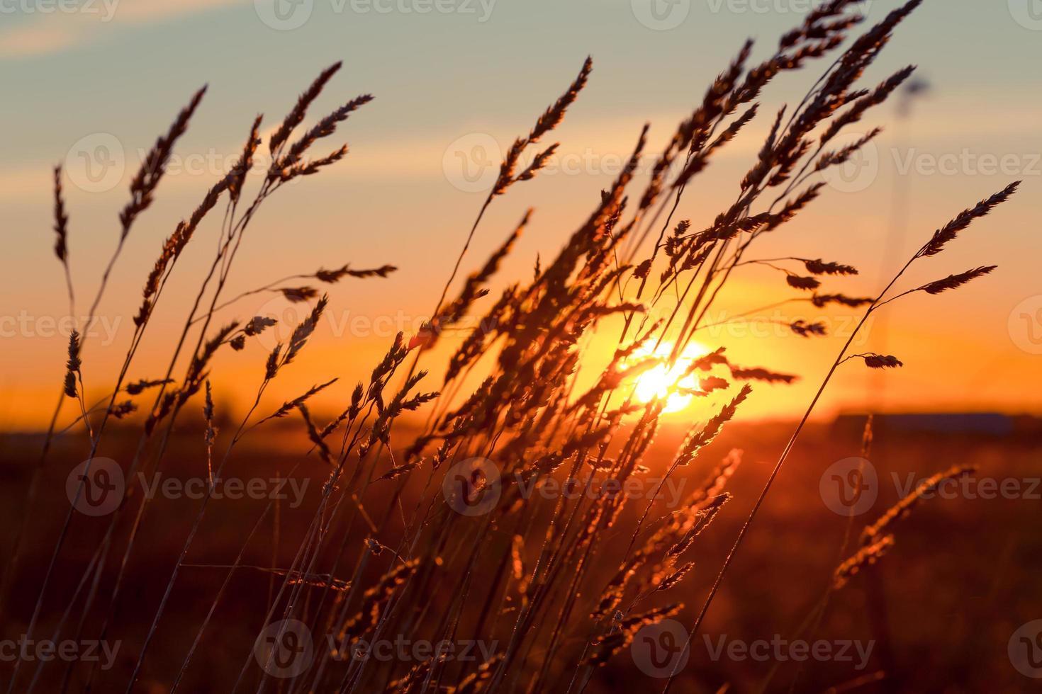 gras bij zonsondergang foto