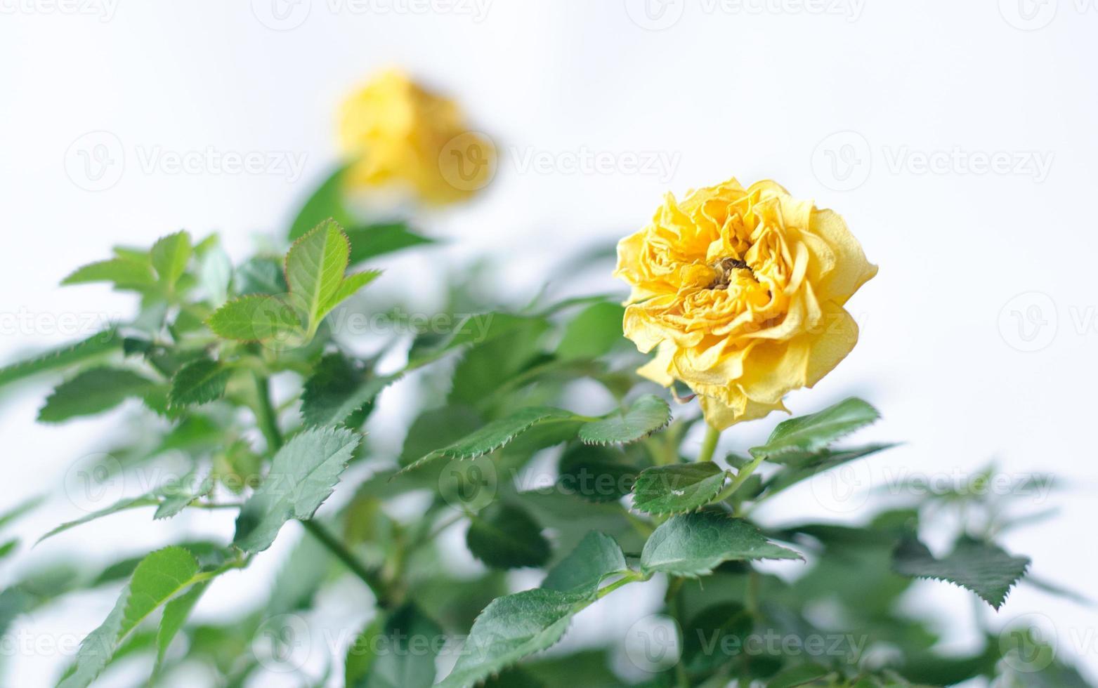 paar gele rozen dat op wit wordt geïsoleerd foto