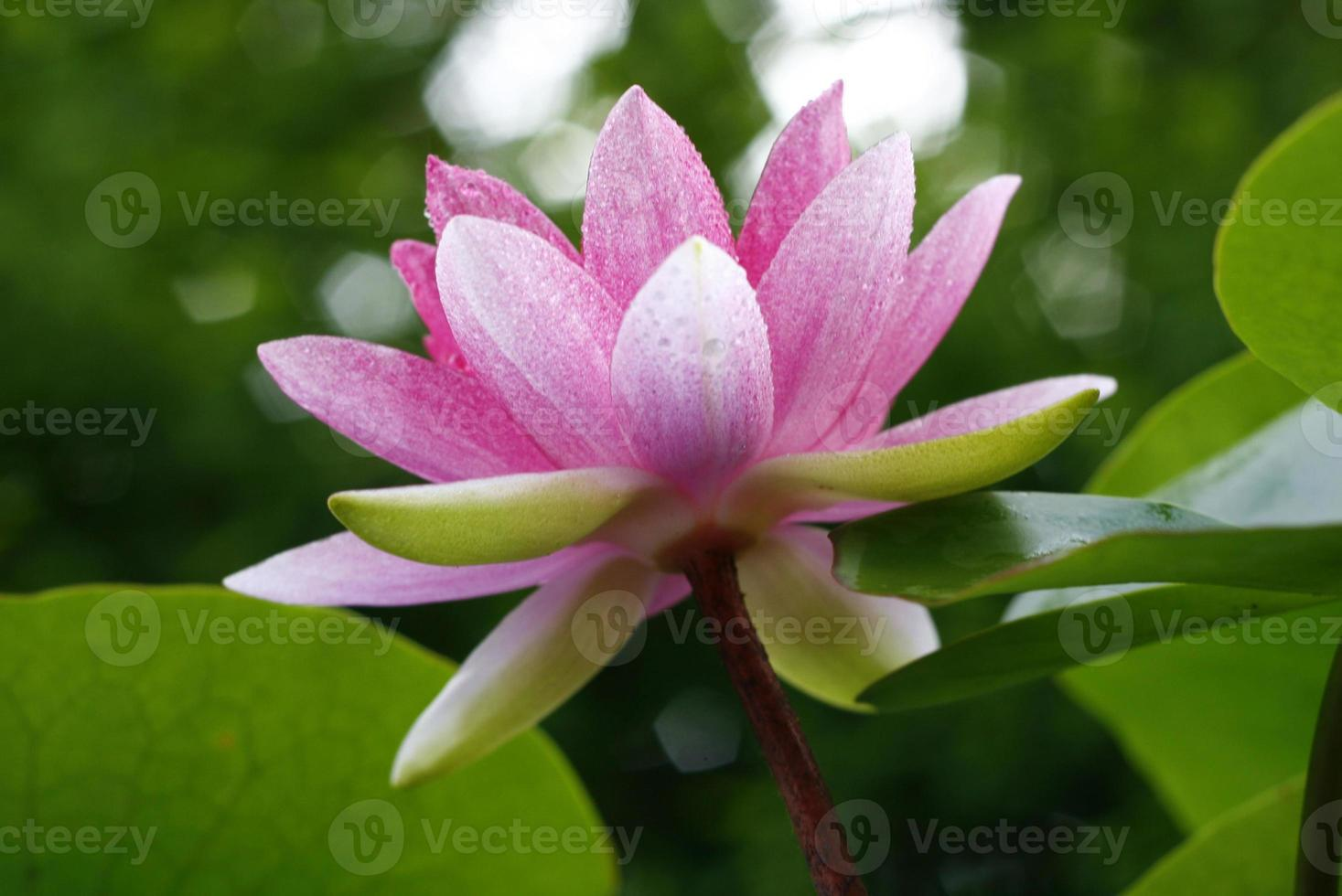 lotusbloem en lotusbloemplanten foto