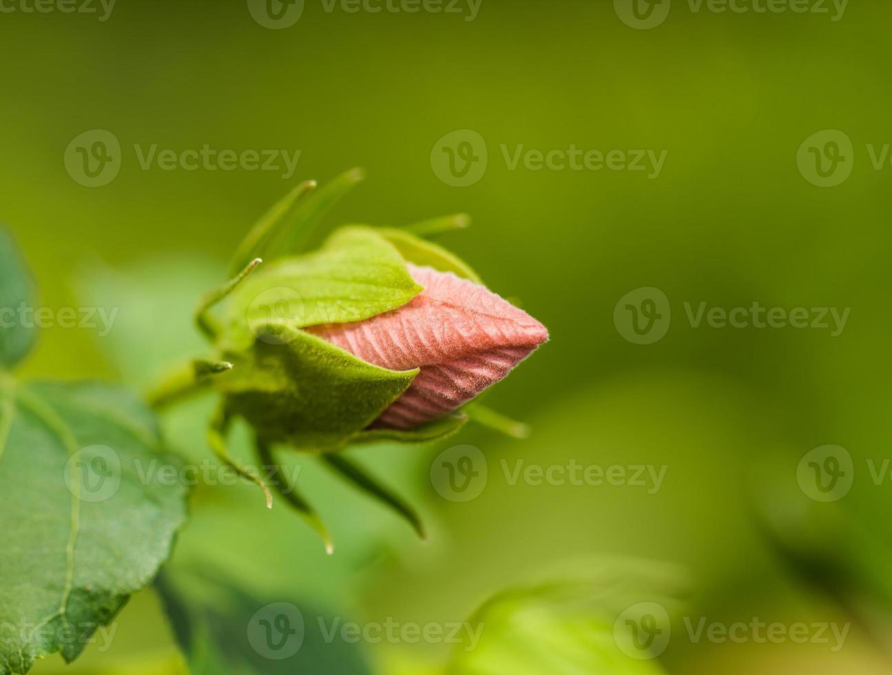hibiscus bloemen foto