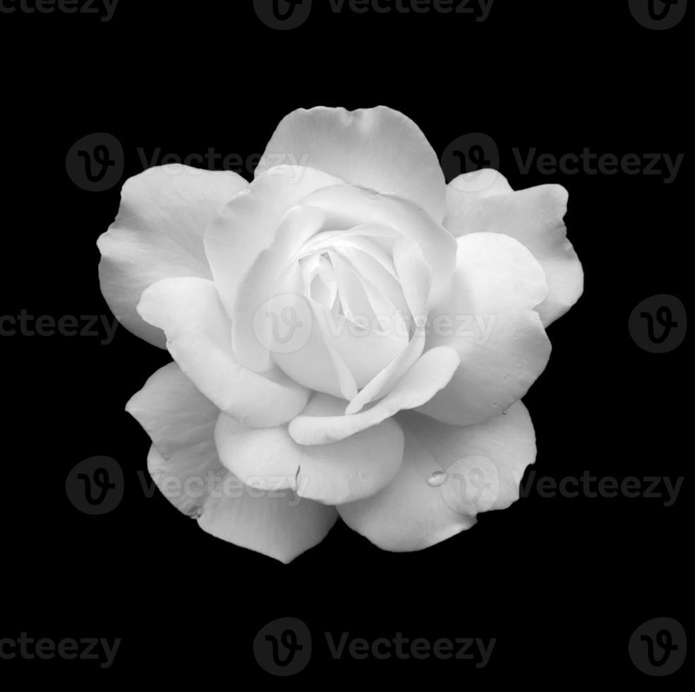 witte roos foto
