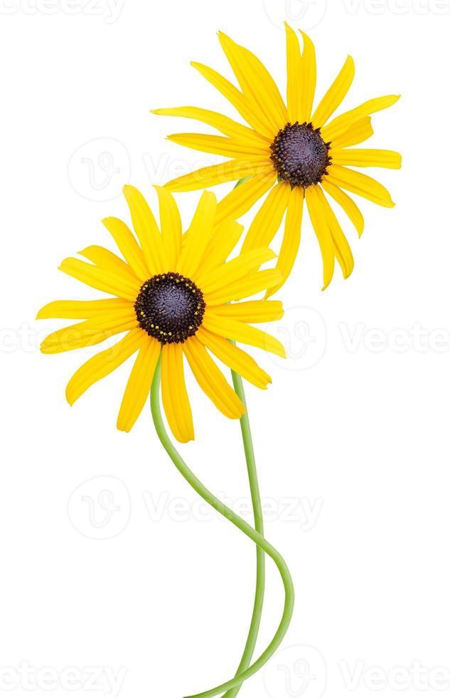zwart-eyed-susan bloemen op wit wordt geïsoleerd foto