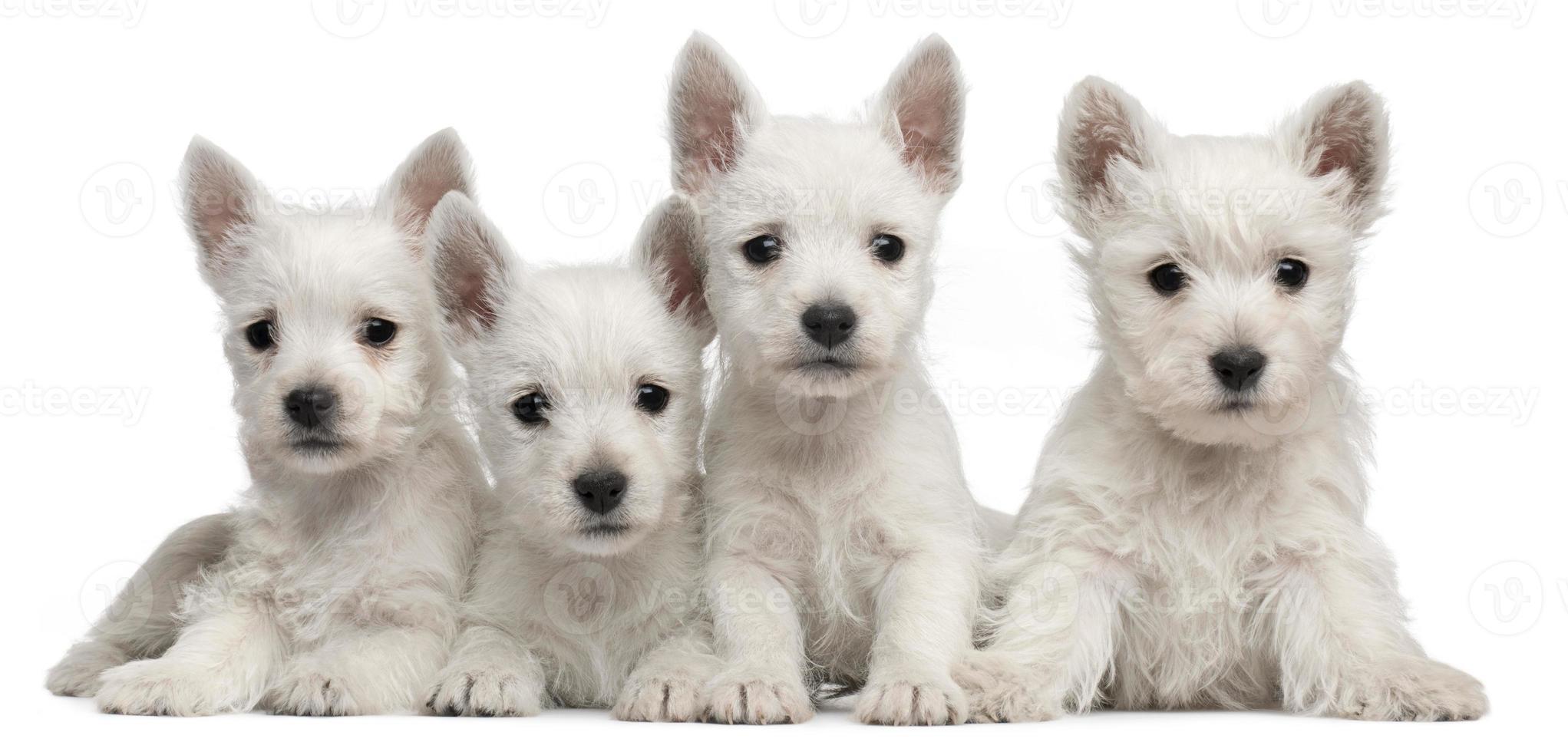 vier puppy's van de west highland terrier, zeven weken oud, witte achtergrond. foto