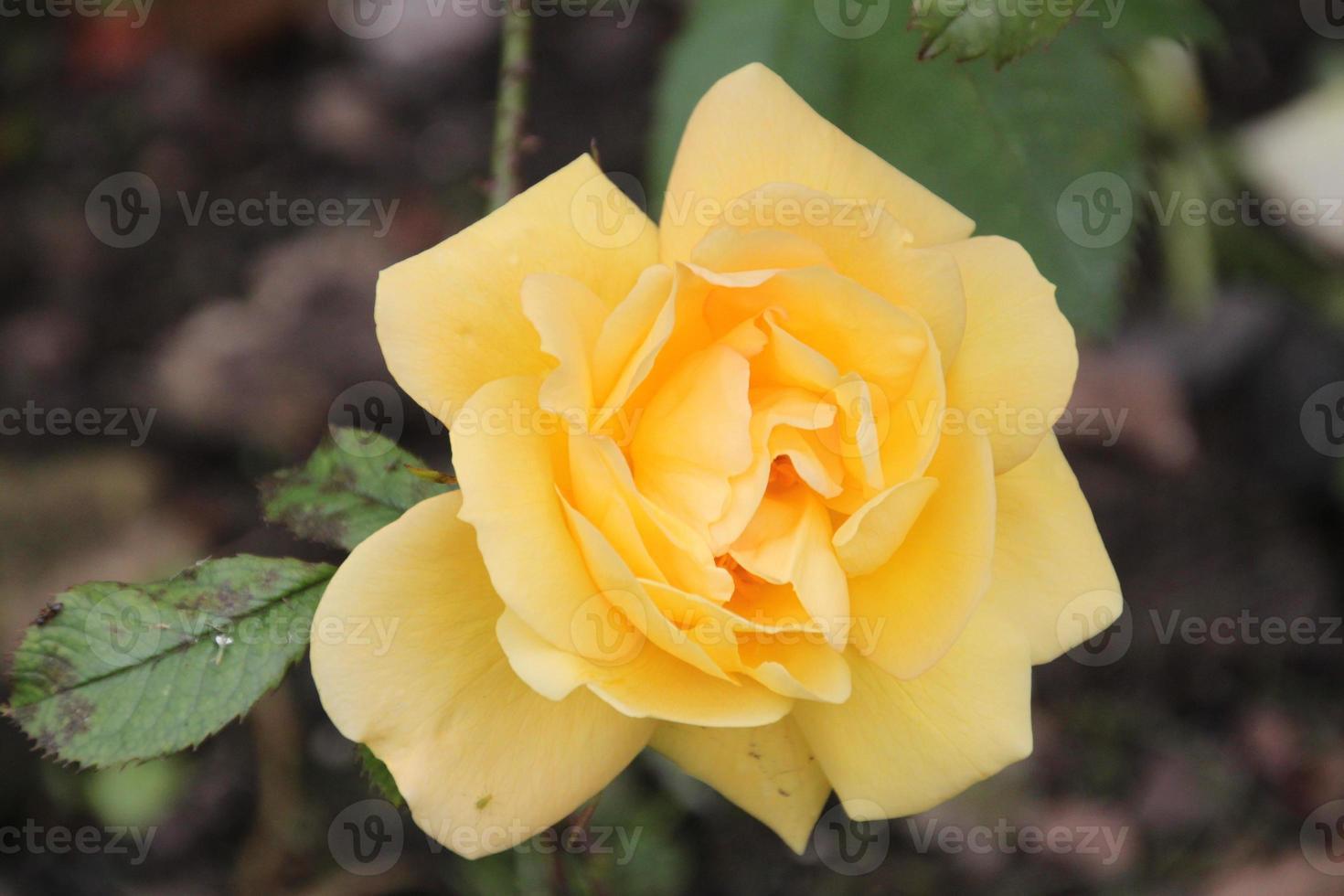 gele roos foto