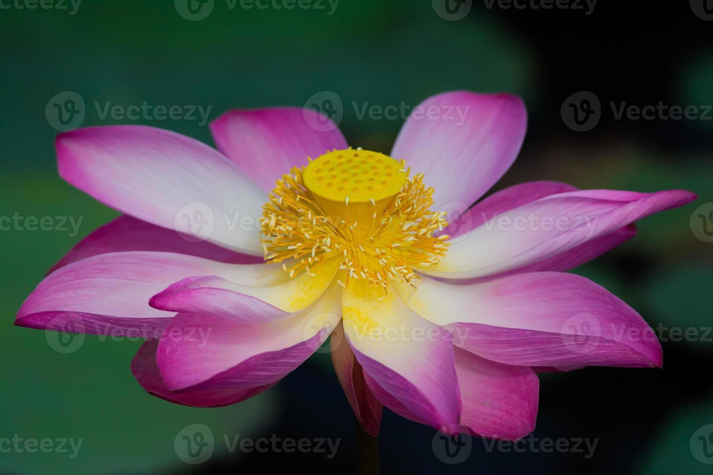 lotusbloem in bloei foto