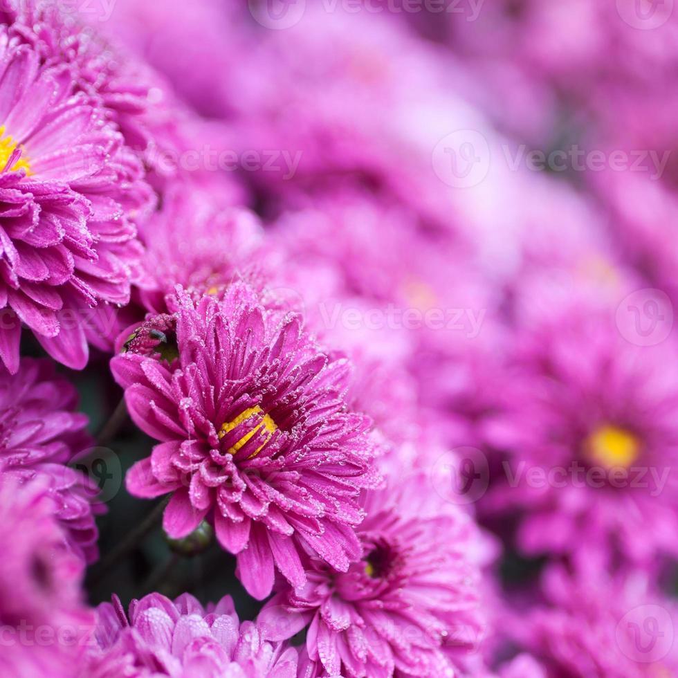 bloemen paars foto