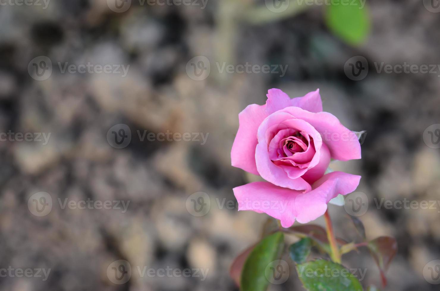 rozen bloem foto