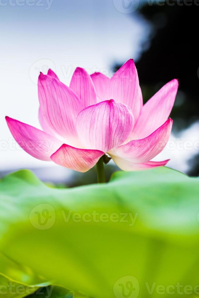 lotusbloem foto