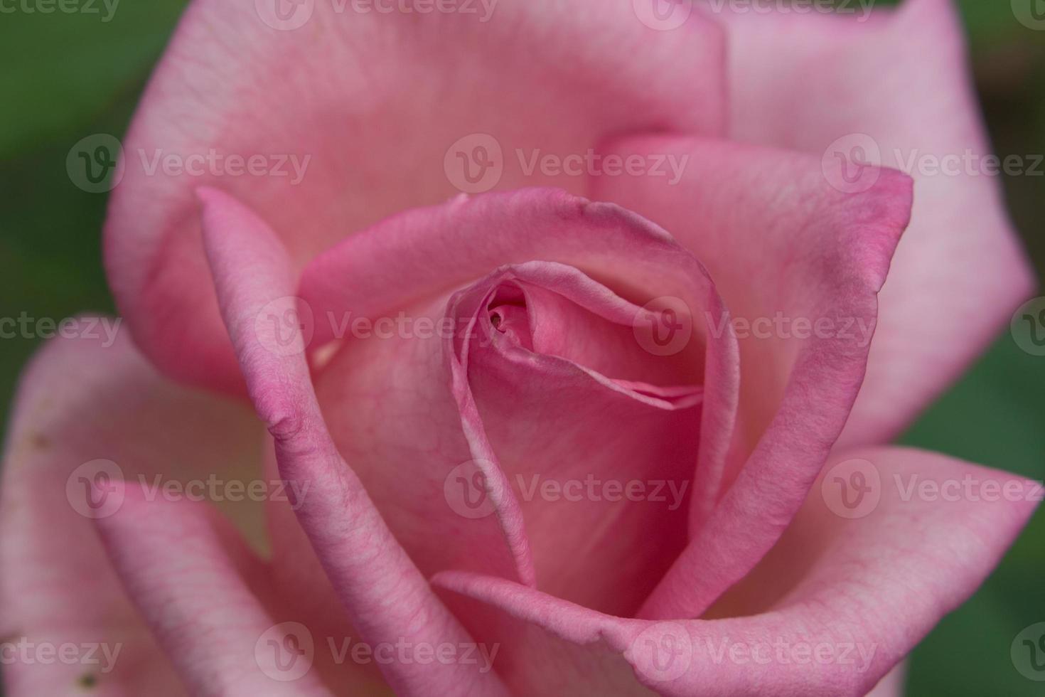 roze rozenknop foto