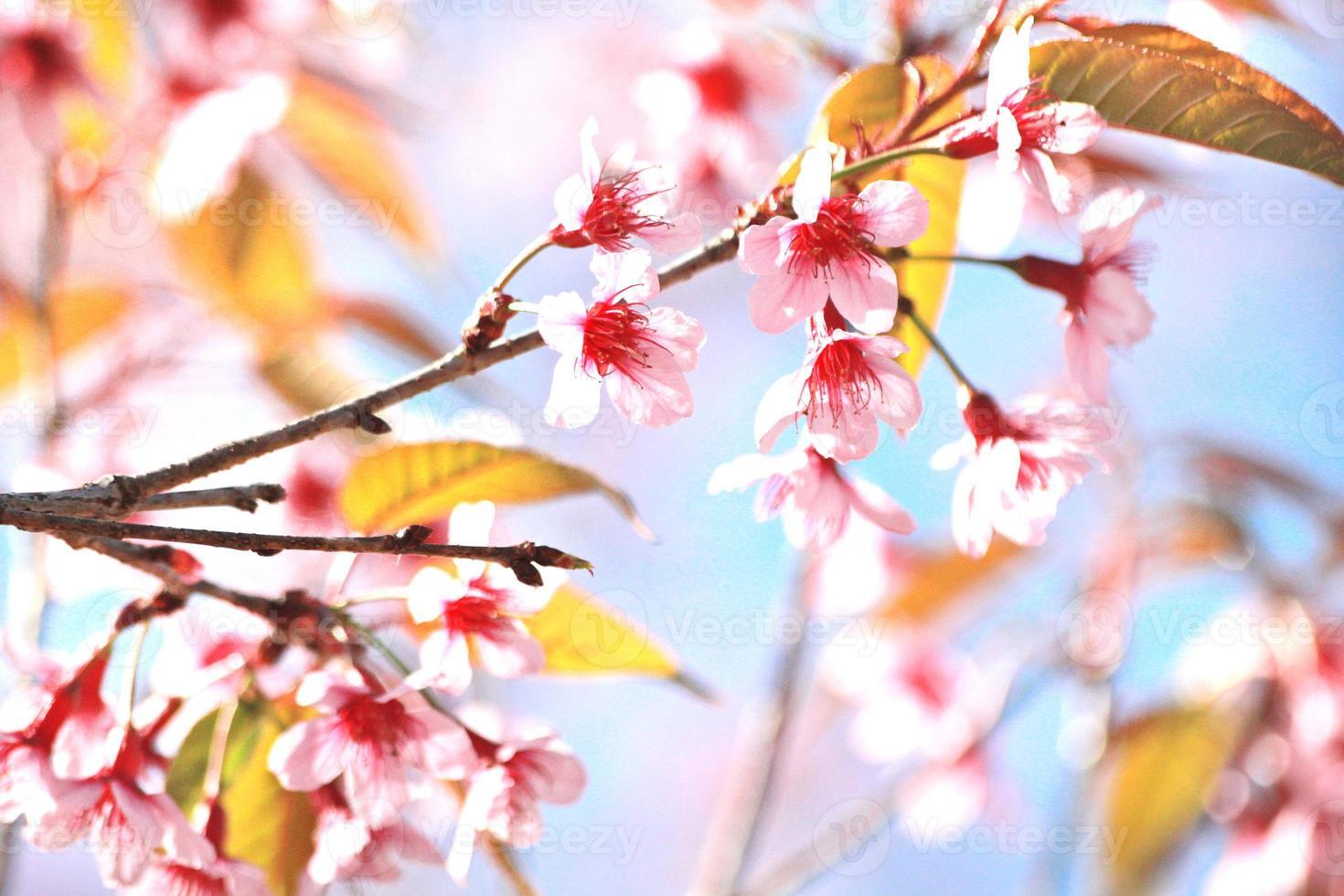 sakura bloem foto