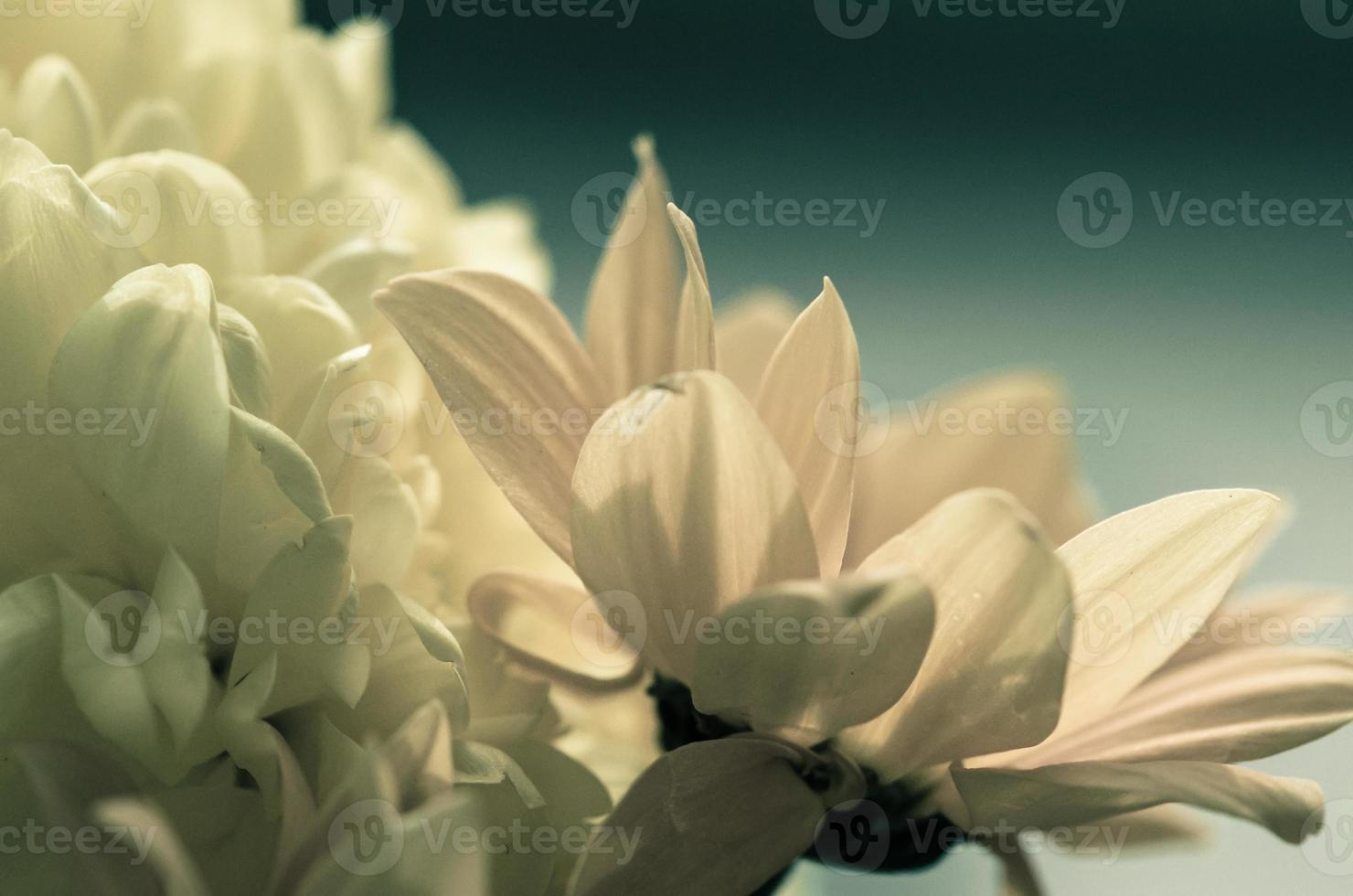 chrysanthemum bloem foto