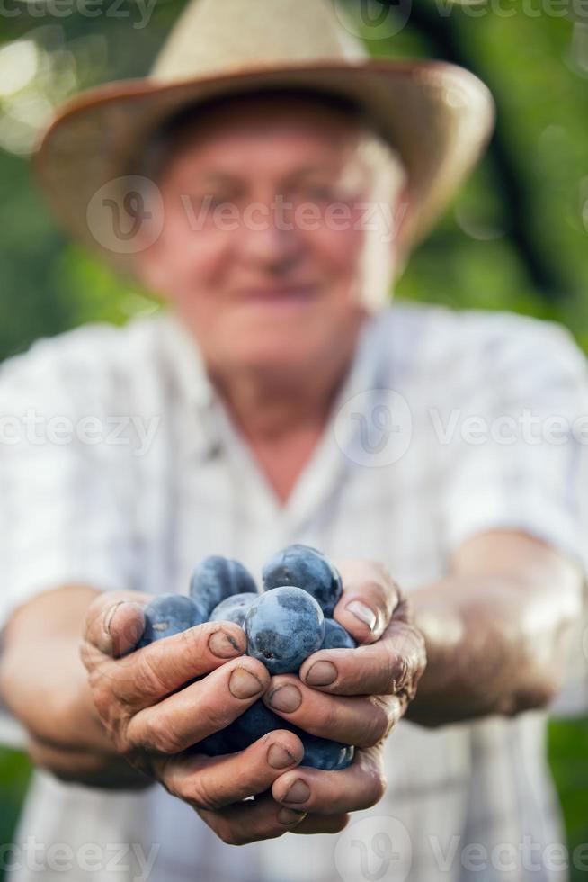 oude man met biologische pruimen foto