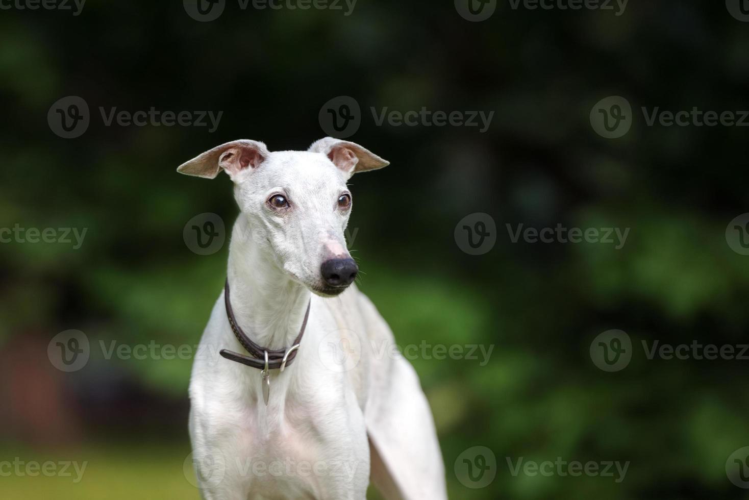 schattige whippet hond poseren buitenshuis foto