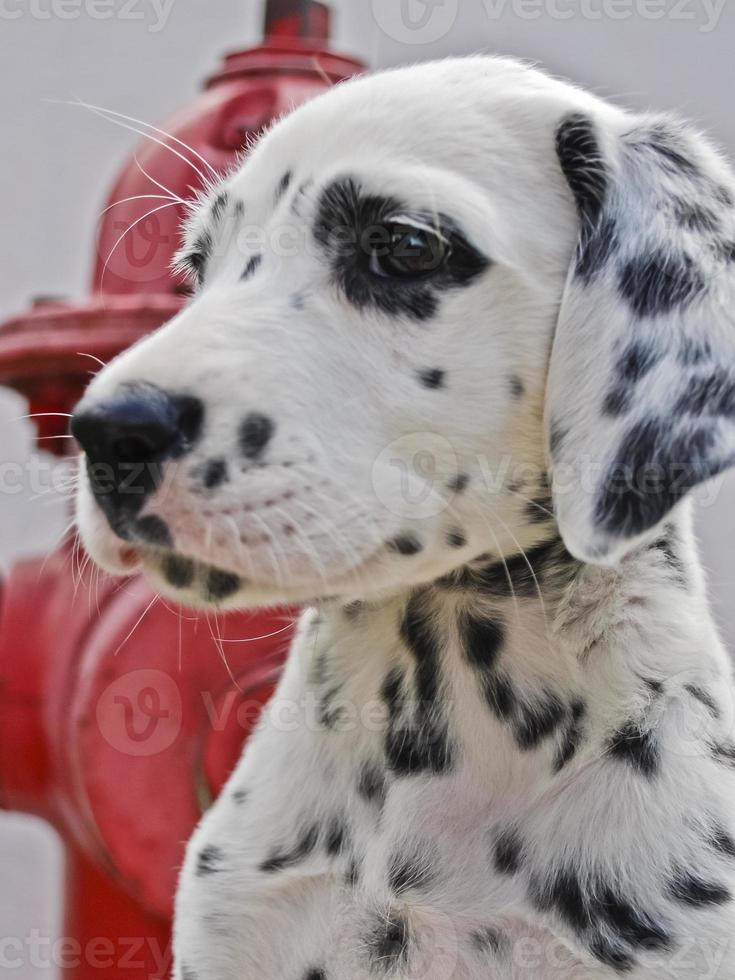 Dalmatische puppy foto