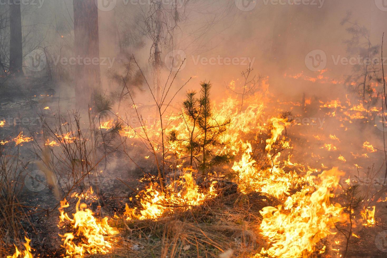 bosbrand in grenen staan foto