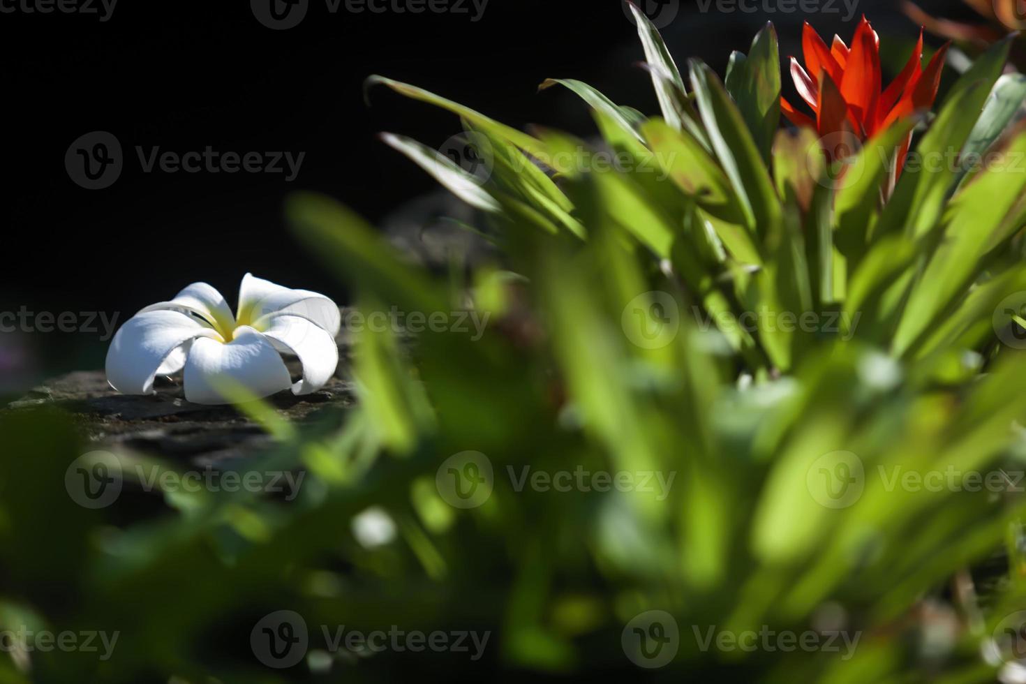 plumeria bloem foto