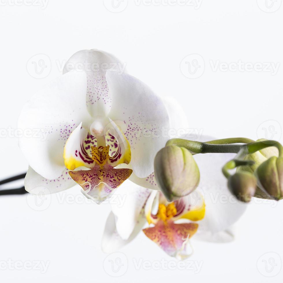 orchideebloem op wit foto