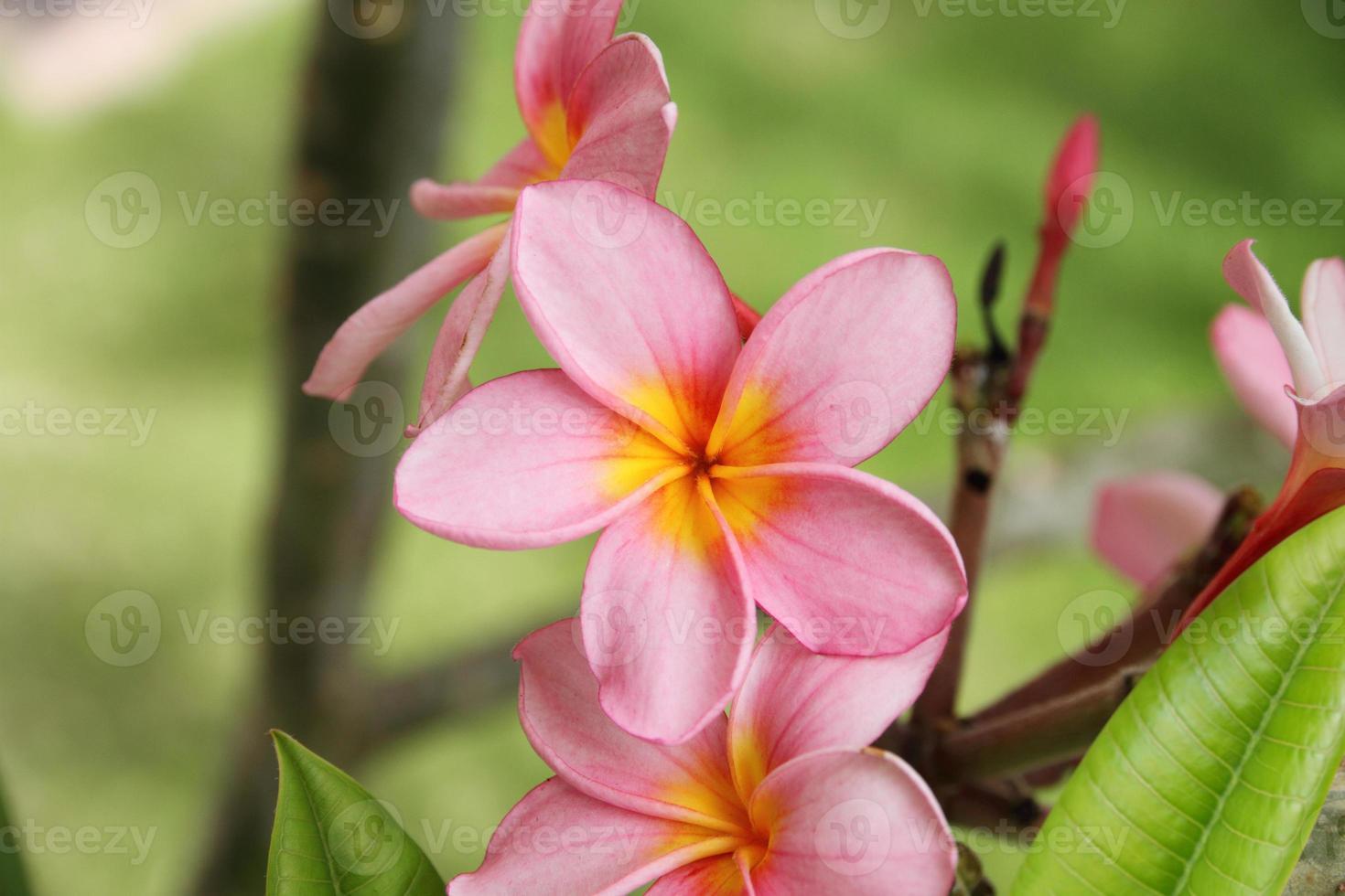 frangipani, plumeria bloem foto