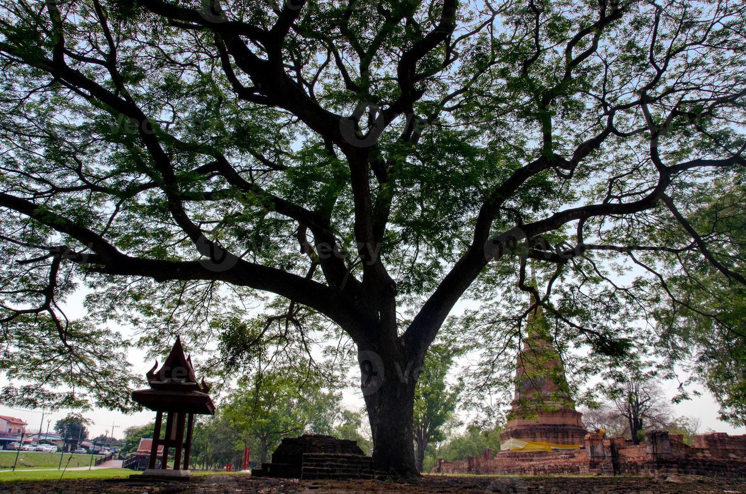 grote boom in boeddhistische oude tempel foto