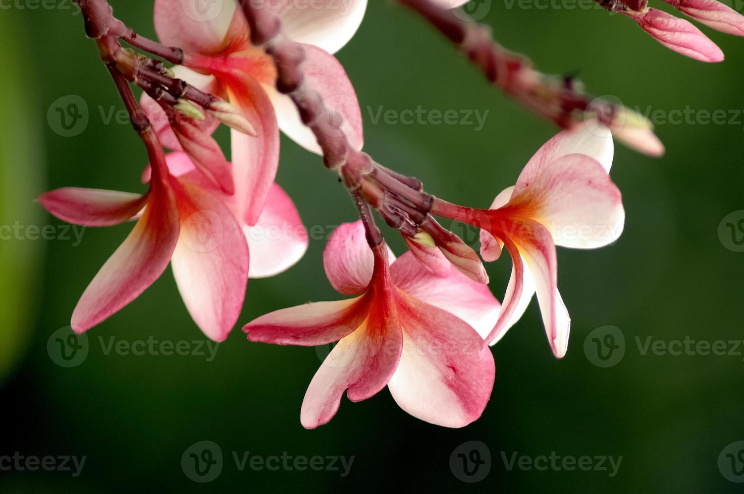 rode plumeria oosterse bloem foto