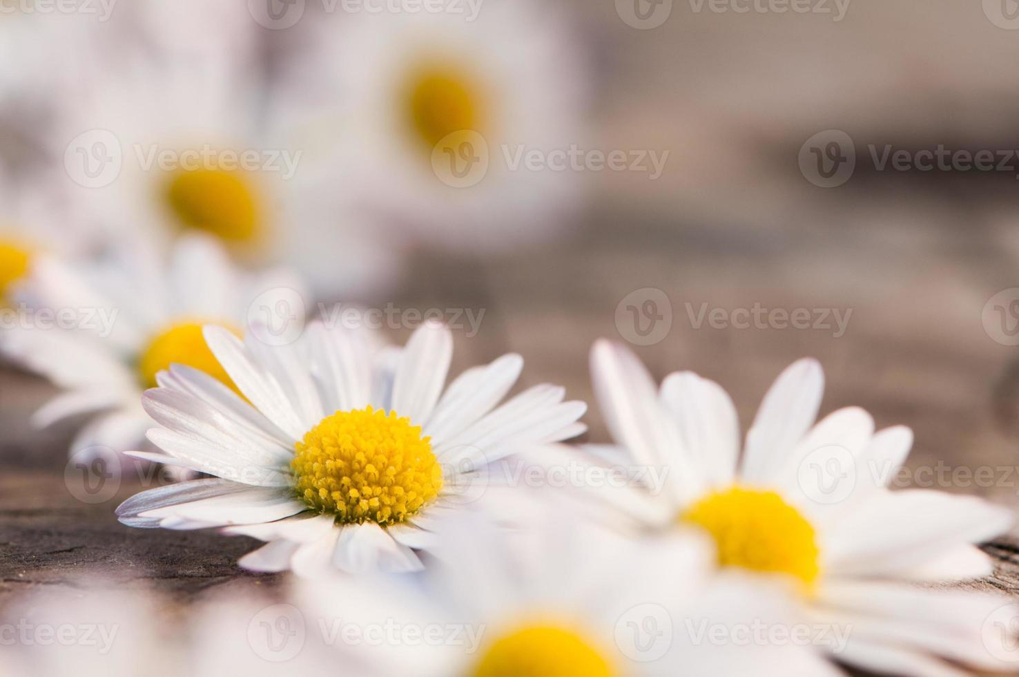 madeliefjebloemen foto