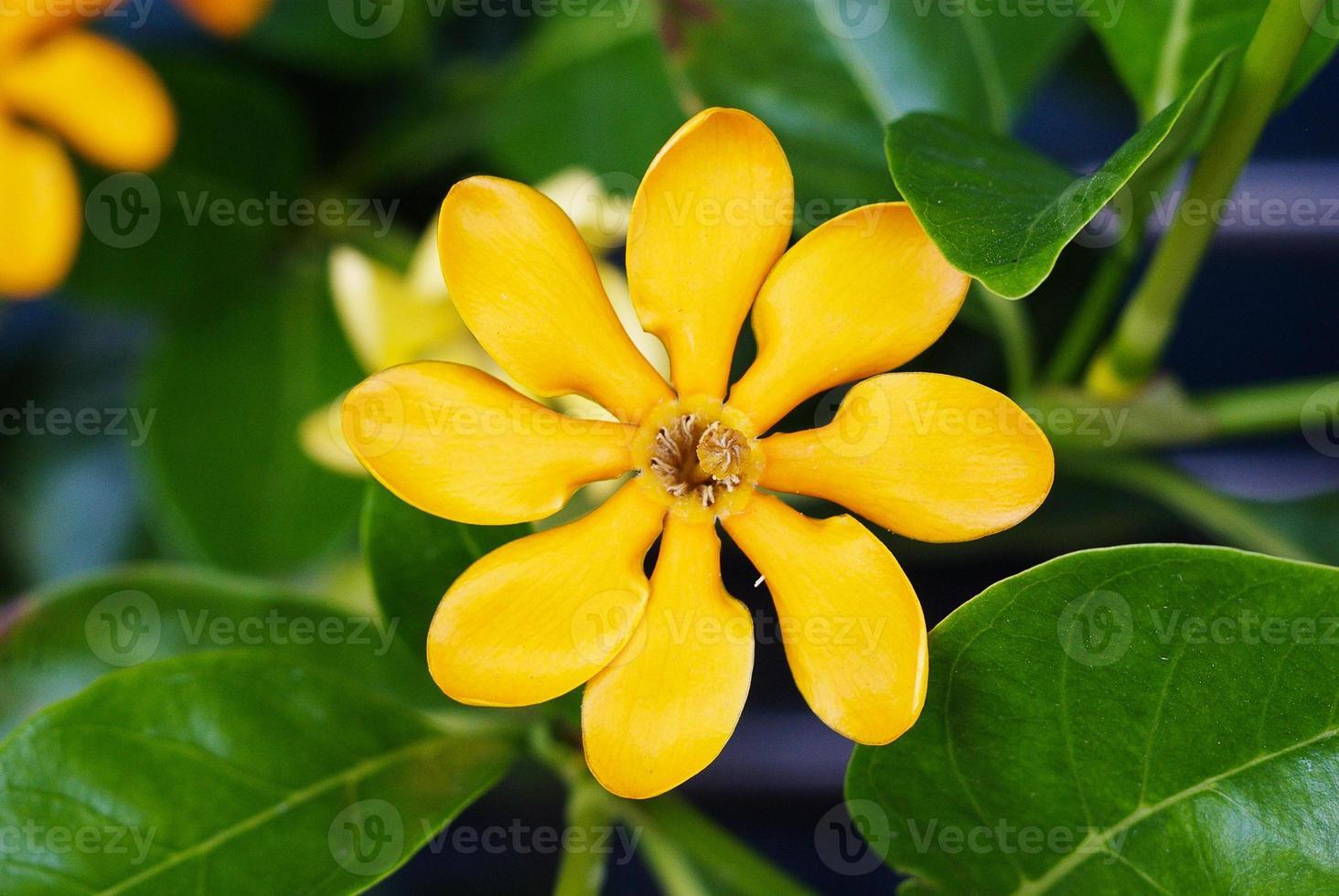 bovenaanzicht van de gouden gardenia bloem foto