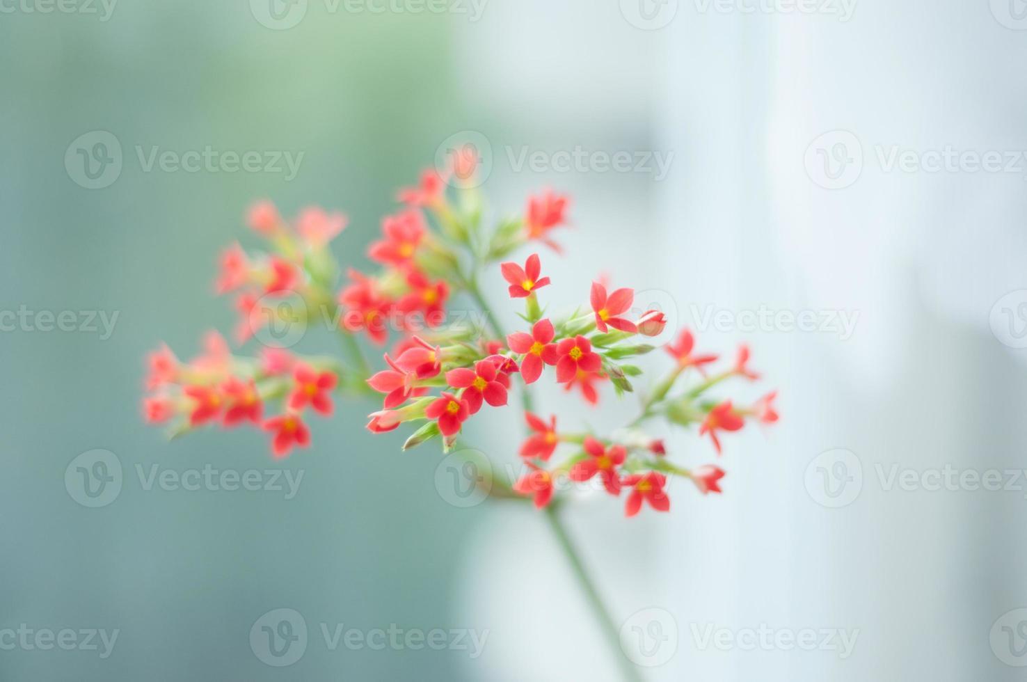 kalanchoe bloem foto